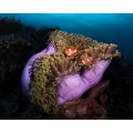 Clown Fish with Magnificent Anemone