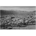 Flock in Owens Valley 1941