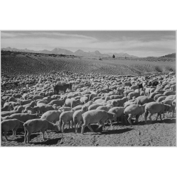 Flock in Owens Valley