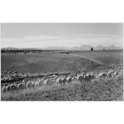 Flock in Owens Valley 2
