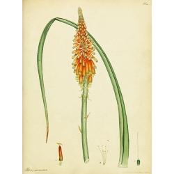 Aloe Aletris Sarmentosa