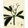 Bamboo Cerbera Undulata