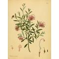 Protea Embothruim Sericeum