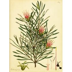 Protea Lambertia Formosa