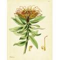 Protea Formosa