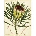 Protea Longifolia Ferruginoso-Pupurea