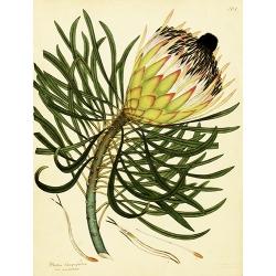 Protea Longifolia