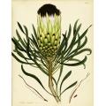 Protea Longifolia Nigra