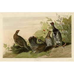 Spotted Grouse