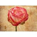 Une Belle Rose 6
