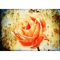 Une Belle Rose 7