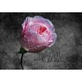 Une Belle Rose 8