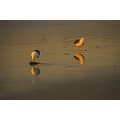 See Gulls at Sunset