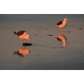 Sunset Sea Gulls