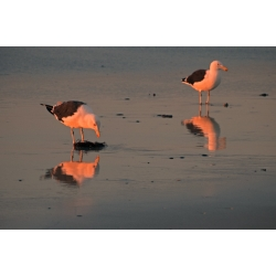 Sunset Sea Gulls
