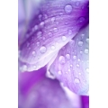 Water Droplets on Petals