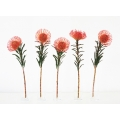 Five Pincushion Protea
