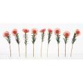 Nine Pincushion Protea