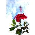Hibiscus Sky