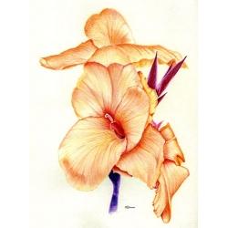 Orange Canna Lilly