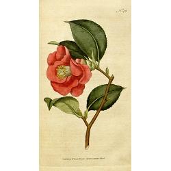 Rose Camellia Japonica