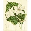 Eucharis Lowii