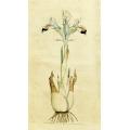 Iris Persica