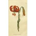 Lily - Lilium Chalcedonicum