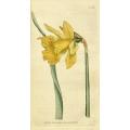 Daffodil - Narcissus Major