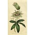 Passionflower - Passiflora Coerulea