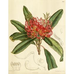 Protea Telopea Oreades