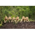 Six Young Male Lions