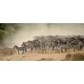 Zebra in the Migration