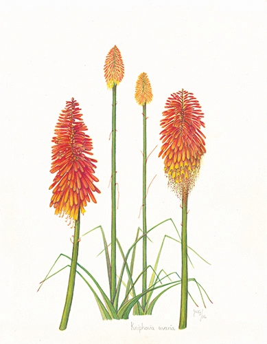 Kniphovia Uvaria Workart Prints And Picture Frames