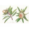 Protea Nitidia