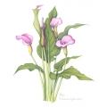 Zantedeschia  Hybrid