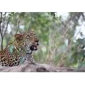 Leopard Jack