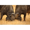 Cape Buffalo fighting