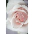 Diffused Rose