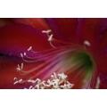 Red Flower Macro 1