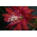 Red Flower Macro 2