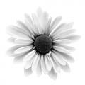Cherene Daisy 1