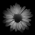 Cherene Daisy 2