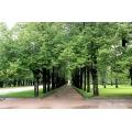 Pavlovsk Trees 2