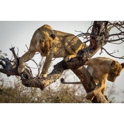 Climbing Lion Cubs