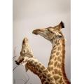 Giraffes fight for Dominance