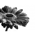 Black and White Gerbera
