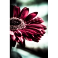 Gerbera Morning