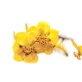 Yellow III