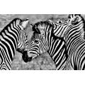 Group of Zebras (60x90)